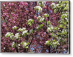 Cherry Tree And Pear Blossoms Acrylic Print