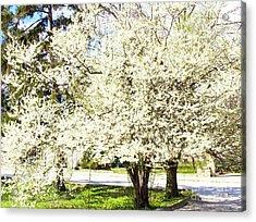 Cherry Trees In Blossom Acrylic Print