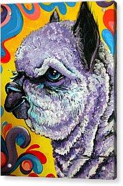Cheshire Alpaca  Acrylic Print