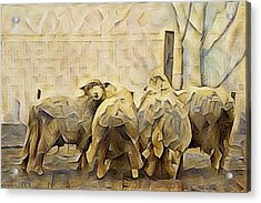 Chester County Sheep Acrylic Print