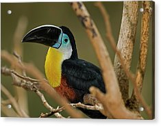 Acrylic Print featuring the photograph Chestnut Mandibled Toucan by JT Lewis