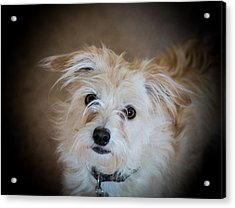 Chica On The Alert Acrylic Print