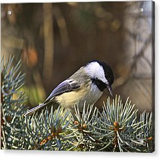 Chickadee-10 Acrylic Print by Robert Pearson