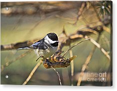 Chickadee-11 Acrylic Print by Robert Pearson