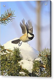 Chickadee-13 Acrylic Print by Robert Pearson