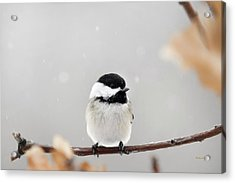 Acrylic Print featuring the photograph Chickadee Bird In Snow by Christina Rollo