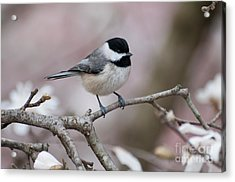 Acrylic Print featuring the photograph Chickadee - D010026 by Daniel Dempster