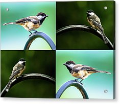 Acrylic Print featuring the photograph Chickadee Duo Composite by Onyonet  Photo Studios