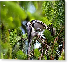 Chickadee Feeding Time Acrylic Print