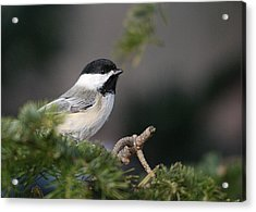 Acrylic Print featuring the photograph Chickadee In Balsam Tree by Susan Capuano
