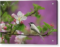 Chickadee In Blossoms Acrylic Print by Lori Deiter
