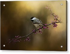 Chickadee In The Golden Light Acrylic Print by Jai Johnson