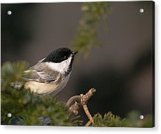 Acrylic Print featuring the photograph Chickadee In The Shadows by Susan Capuano