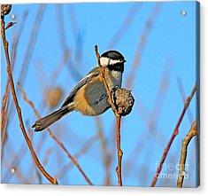 Chickadee Acrylic Print by Robert Pearson