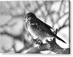 Chickadee Acrylic Print by Sheila Ping