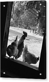Chicken Acrylic Print by Dan Andersson