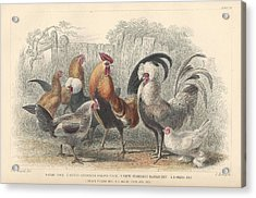 Chickens Acrylic Print by Dreyer Wildlife Print Collections