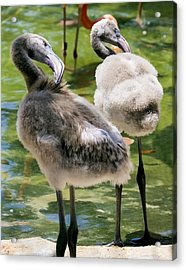 Chicks Hangin' Out Acrylic Print