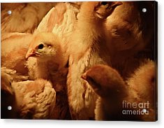 Acrylic Print featuring the photograph Chicks by Mary Machare