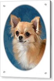 Chihuahua 966 Acrylic Print