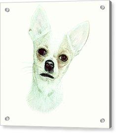 Chihuahua Phoebe Acrylic Print by Maria Boklach