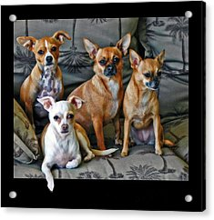 Chihuahuas Hanging Out Acrylic Print