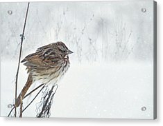 Acrylic Print featuring the mixed media Chilly Song Sparrow by Lori Deiter