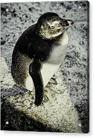 Chillypenguin Acrylic Print by Chris Boulton
