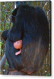 Chimpanzee Acrylic Print by Donna Proctor