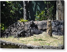 Acrylic Print featuring the photograph Chimps At Rest by John Black