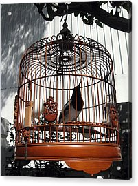 China Bird In Mahogany Cage Acrylic Print
