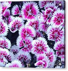 China Pink Acrylic Print by DiDi Higginbotham