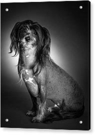 Chinese Crested - 01 Acrylic Print by Larry Carr