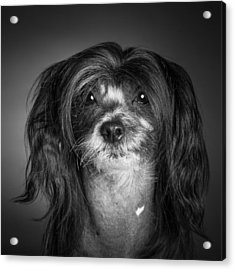 Chinese Crested - 02 Acrylic Print by Larry Carr