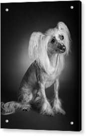 Chinese Crested - 03 Acrylic Print by Larry Carr