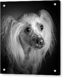 Chinese Crested - 04 Acrylic Print by Larry Carr