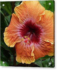Chinese Hibiscus Acrylic Print by Margaret Saheed