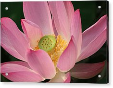Chinese Lily Acrylic Print by Linda Russell