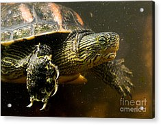 Chinese Pond Turtle Acrylic Print by B.G. Thomson