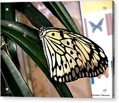 Chinese Yellow Swallowtail Acrylic Print