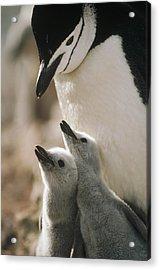 Chinstrap Penguin Pygoscelis Antarctica Acrylic Print by Tui De Roy