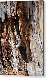 Chipmunk - Eager Arizona Acrylic Print by Donna Greene