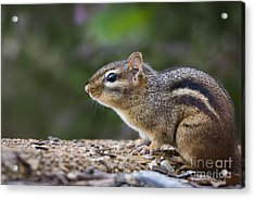 Chipmunk   Acrylic Print by Andrea Silies