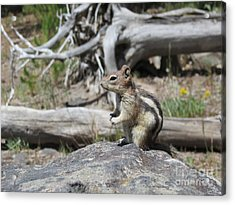 Chipmunk At Yellowstone Acrylic Print