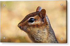 Acrylic Print featuring the photograph Chipmunk by Bob Orsillo