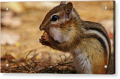Acrylic Print featuring the photograph Chipmunk Eating Corn by Bob Orsillo