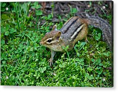 Chipmunk Acrylic Print by Edward Myers