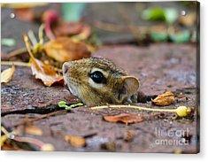 Chipmunk Hiding Spot Acrylic Print