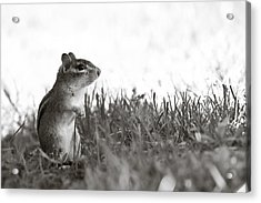 Chipmunk In Black And White Acrylic Print by Edward Myers