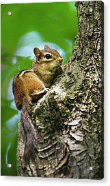 Chipmunk On A Limb Acrylic Print by Christina Rollo